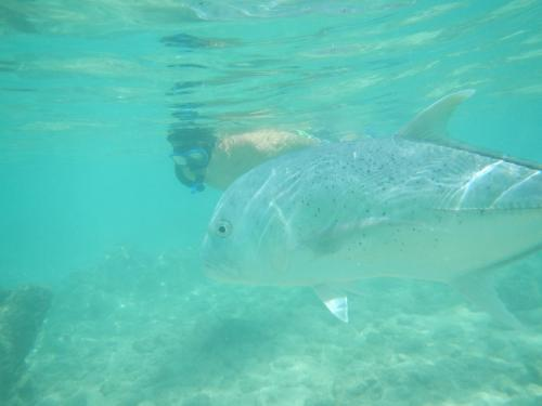 Hanauma Bay Snorkeling Giant Trevally